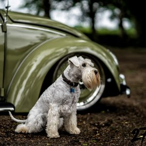 Ted The Schnauzer Sat Infrount Of 1967 VW Beetle